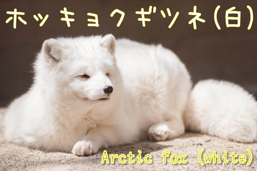 ホッキョクギツネ(白)