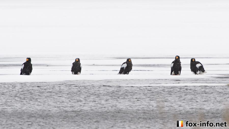 北海道のオオワシ