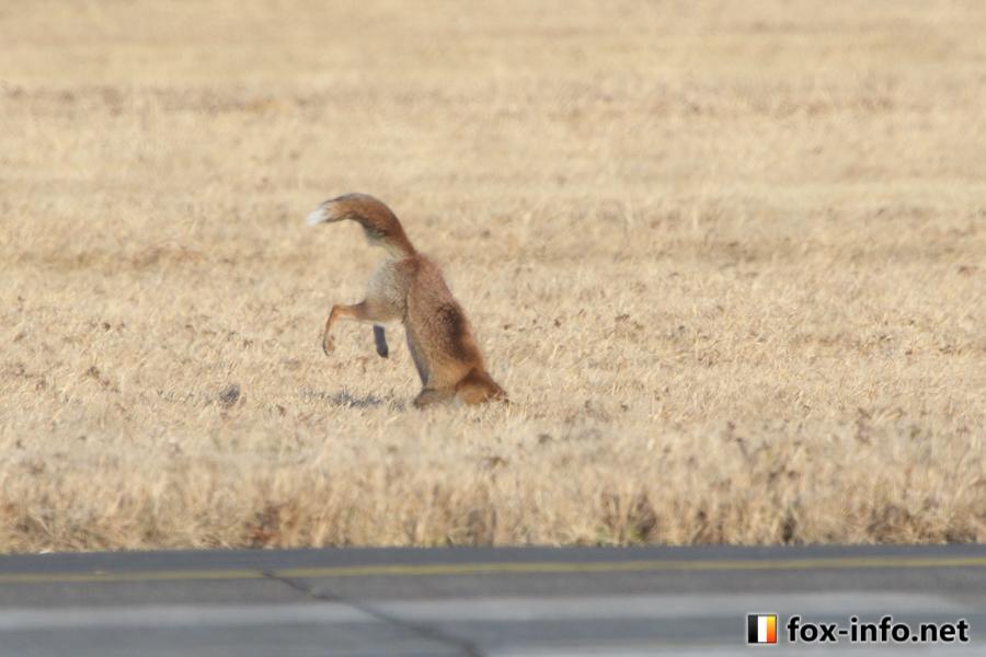 野生のキツネの狩り