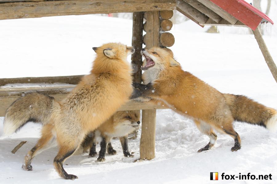 雌の奪い合いキツネ