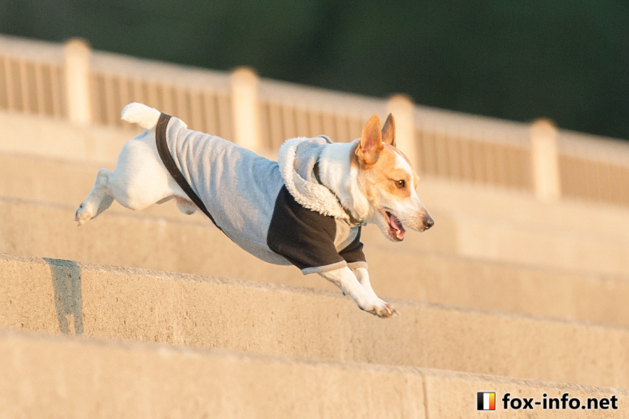 小型犬の例:ジャックラッセルテリア(6キロ程度)