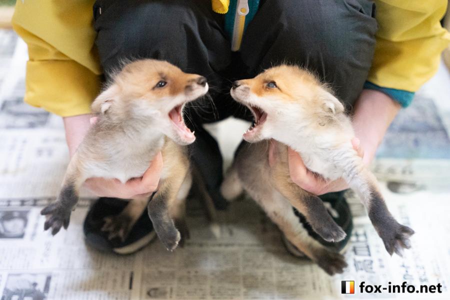 キタキツネ写真集「なまらめんこい!北きつね牧場」-こぎつねごっこ(狐狐狐狐)編-