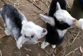 好奇心旺盛な仔ヤギ