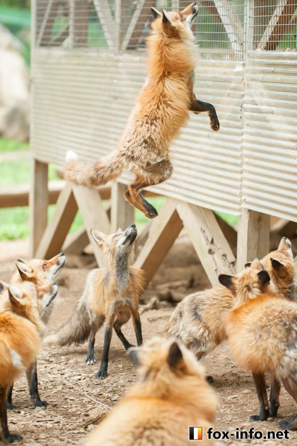 キツネのジャンプ