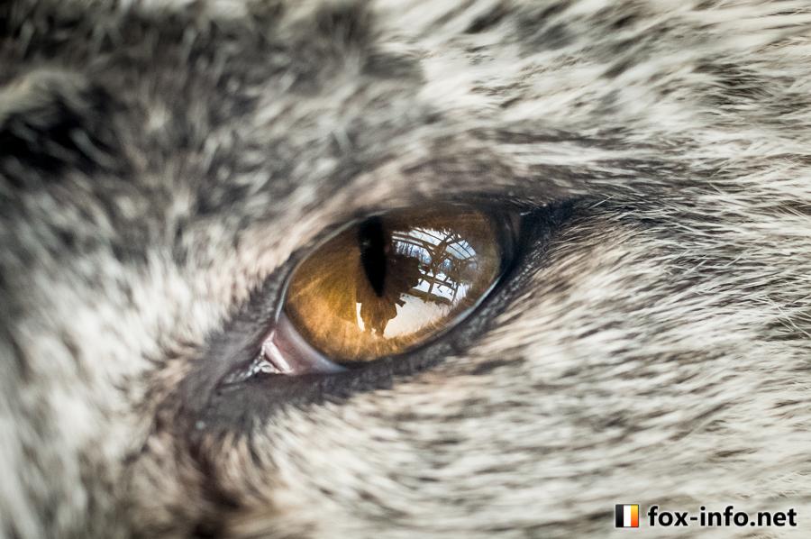 プラチナキツネの瞳