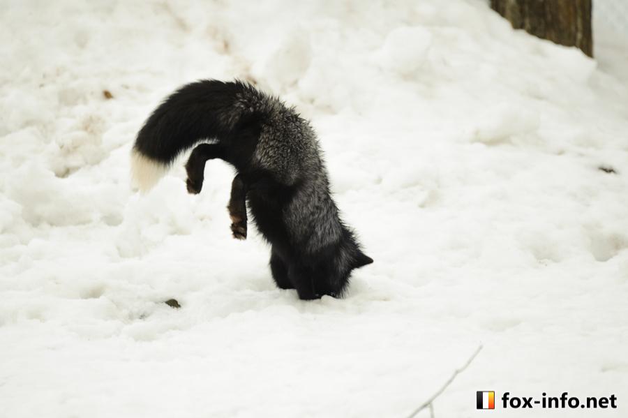 キツネの狩り