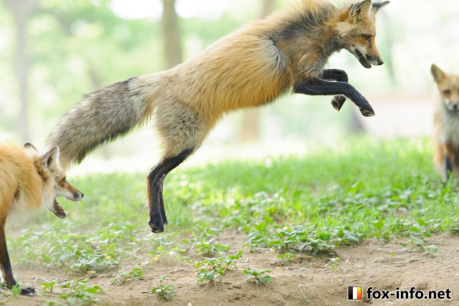 キツネのジャンプ狩り
