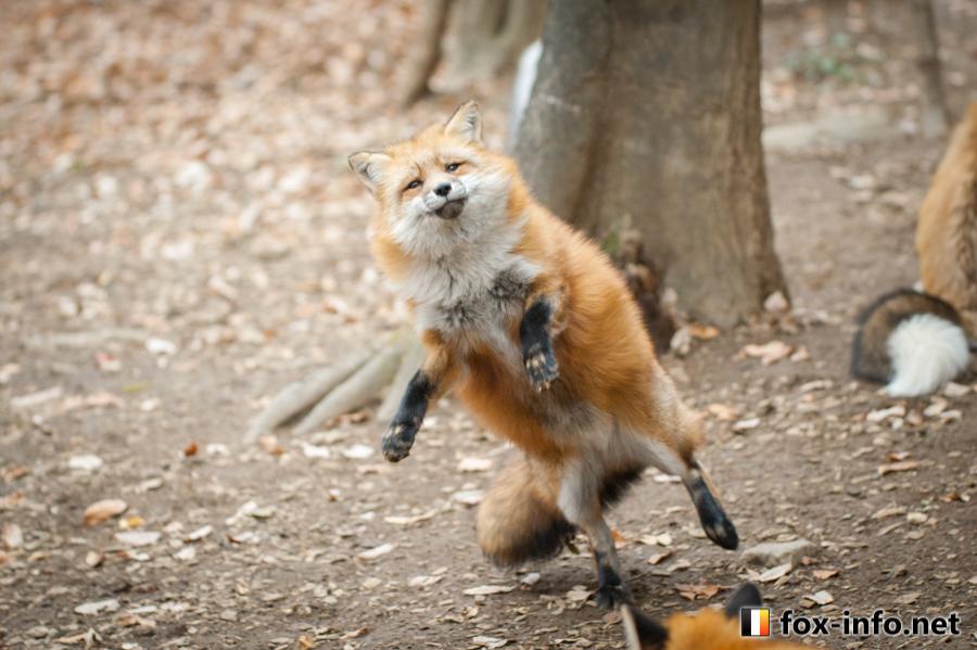 キツネのダンス
