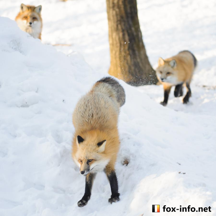 冬のキツネ