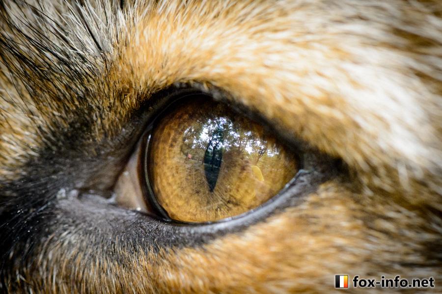 キタキツネの瞳